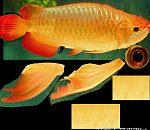 绑定好的金鱼模型下载
