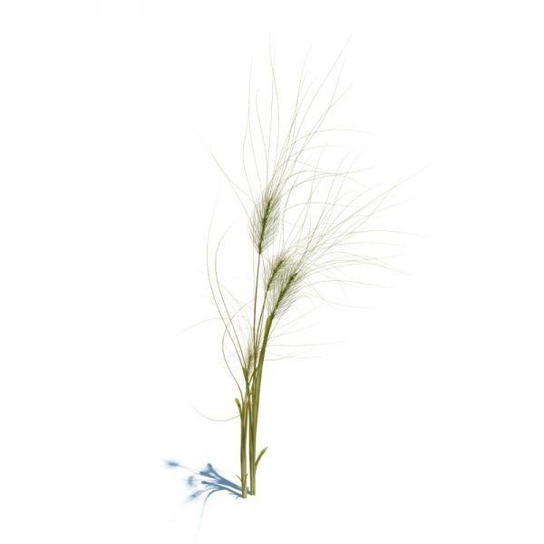 写实麦子模型、狗尾草模型、稻子植物模型下载