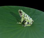 荷叶上的青蛙maya逼真超写实高模型,带完整贴图